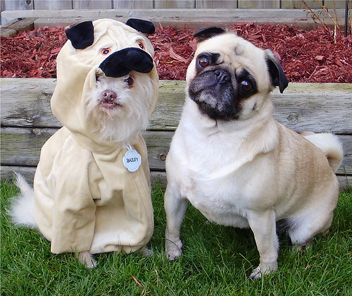 pug_imposter
